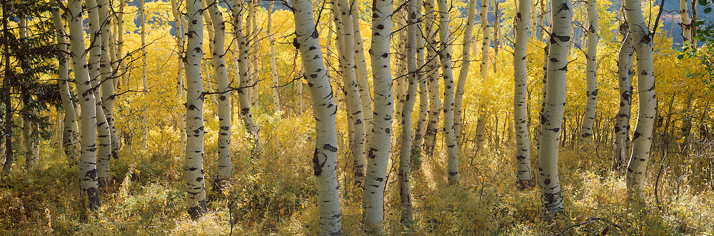 Aspen trees on the Wasatch Mountain range near Salt Lake City, Utah.