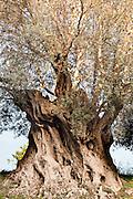Agrigento, Valle dei Templi. Ulivo millenario del Giardino della Kolymbetra. Proprietà FAI.  ©2012 Vince Cammarata | FOS