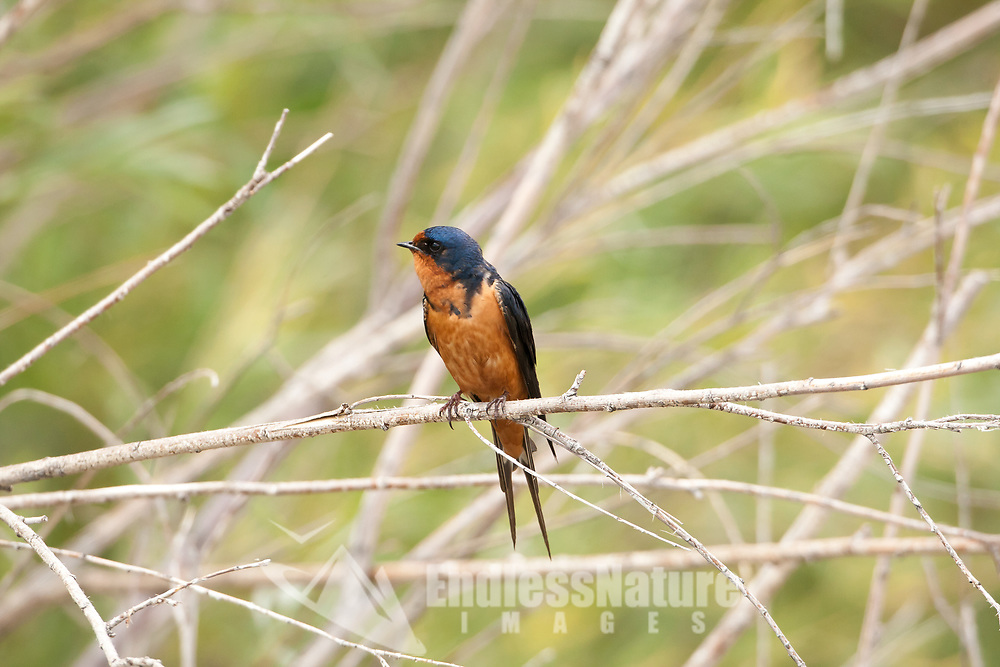 Last days of May 2016 Bear River Bird Refuge in northern Utah a Barn Swallow rests in a willow branch next to one of the dike bridges along the auto veiwing road that travels around the refuge.