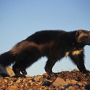 Wolverine adult walking along a ridge in the Rocky Mountains of Montana. Captive Animal