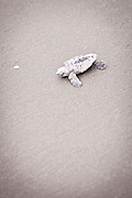 A freshly hatched loggerhead sea turtle baby crawls to the ocean on the beach at Isle of Palms, SC