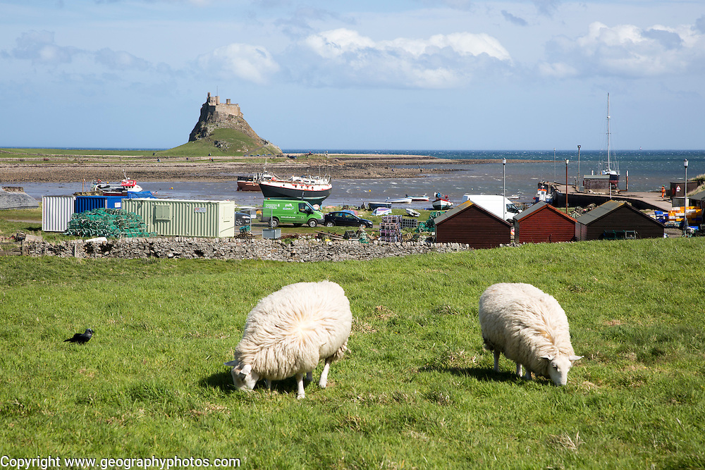 Sheep grazing, view of harbour and castle, Holy Island, Lindisfarne, Northumberland, England, UK