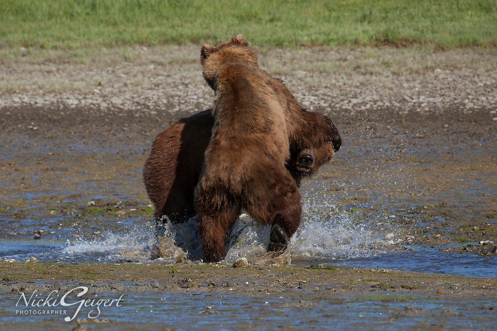 Two brown bears playing in Alaska. Wildlife and nature photography wall art. Fine art photography prints for sale.