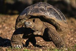 Galapagos giant tortoise (Geochelone nigrita) walking, Santa Cruz Island, Galapagos Islands, Ecuador
