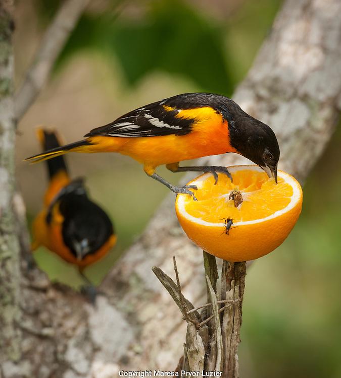Baltimore Orioles feeding on orange, Icterus galbula,<br /> Coastal Texas