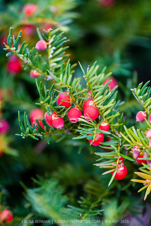 Yew berries on a female Hick's yew (Taxus x media 'Hicksii')