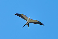 A swallow-tailed kite glides above the wetlands in rural Southwestern Florida just outside of Immokalee, Florida in search of snakes, lizards, frogs and other birds. This graceful flyer can swoop down quite suddenly to catch in kill its prey.