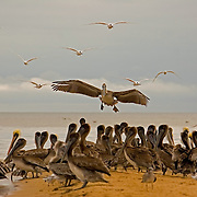 Waterbirds at mouth of North Stann Creek River, Dangriga, Belize<br />