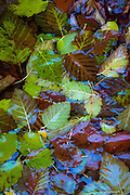 Autumn leaves under the water of Rio Costilla in northern New Mexico.