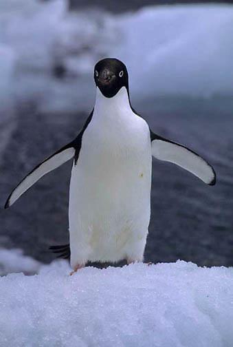 Adelie Penguin, (Pygoscelis adeliae) On ice surrounding Paulet Isle Antarctica Peninsula.