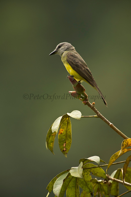 Tropical Kingbird (Tyrannus melancholicus)<br /> Cloud forest<br /> Western slope of Andes<br /> ECUADOR, South America<br /> Seen singly or in pairs usually perched fully in the open on exposed branches or wires. One of the few birds to remain active through out the heat of mid day. Eats mainly insects that are caught in flight. <br /> HABITAT & RANGE: Common in open and semiopen areas, including towns. Lowlands and foothills of east and west Andes. Found in tropical South America south to Argentina and Brazil.