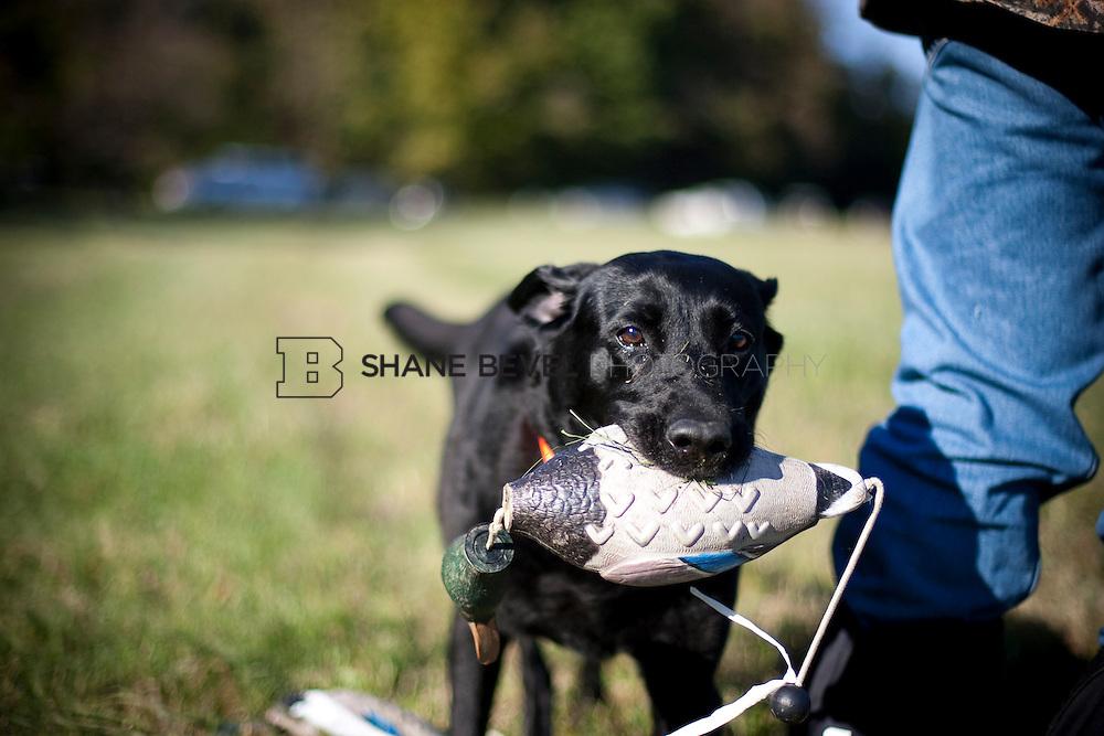 Retriever training at the Three Rivers Hunt Club in Oklahoma. ..Photos by Shane Bevel