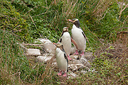 Three yellow-eyed penguins (Megadyptes antipodes), also known as Hoiho, march up the hillside to their colony at Nugget Point in the Catlins at the southern tip of the South Island of New Zealand. Yellow-eyed penguins are endangered and are one of the most rare penguins in the world with a total population of only about 4,000. About 90 percent of the yellow-eyed penguin's diet consists of fish. During the breeding season, many of the penguins spend the entire day hunting in the ocean. They enter the Pacific Ocean at dawn and return at dusk, venturing as far as 25 kilometers (16 miles) offshore and diving to depts of up to 120 meters (394 feet).