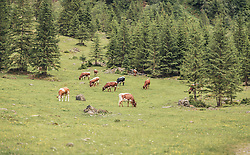 THEMENBILD - eine Kuhherde grast auf einer Almwiese zwischen Nadelbäumen, aufgenommen am 23. Juni 2019, am Hintersee in Mittersill, Österreich // a herd of cows grazes on an alpine meadow between conifers on 2019/06/23, Hintersee in Mittersill, Austria. EXPA Pictures © 2019, PhotoCredit: EXPA/ Stefanie Oberhauser