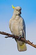"""Sulphur-Crested Cockatoo. Beautiful, but not native to Tasmania. Some in the farming community consider them """"vandals"""" as they snip new shoots off plants, chew on wood supports, etc.."""
