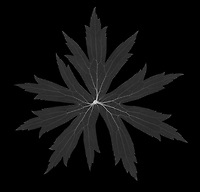 X-ray image of a Canada anemone leaf (Anemone canadensis, white on black) by Jim Wehtje, specialist in x-ray art and design images.