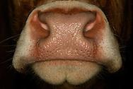 Nose of a Limousin cattle (Bos primigenius taurus). Also called a muzzle (Planum nasolabial), respectively. It is the fusion of nostrils and upper lip. It is hairless and over coated with a mucous membrane. The glands underlying supply the muzzle with liquid, so a cow nose is always wet. The muzzle is relatively immobile, rather rigid. It is crossed by fine furrows that delineate areas of different sizes. This structure is similar to a fingerprint, identifying an individual. Cattle are equipped with a highly developed sense of smell, which also has a social function, especially for augmentative communication, especially in relation to their sexual behavior and individual recognition. For the food choice the sense of smell seems to play no major role. Farm Helle, Thumby, Germany. / Nase eines Limousin Hausrindes (Bos primigenius taurus). Wird auch als Flotzmaul (Planum nasolabiale) bezeichnet. Es ist die Verschmelzung von Naseneingang und Oberlippe. Es ist haarlos und mit einer Schleimhaut ueberzogen. Die darunter liegenden Druesen versorgen das Flotzmaul mit Fluessigkeit, deswegen ist eine Kuh-Nase immer feucht. Das Flotzmaul ist relativ unbeweglich, eher starr. Es ist von feinen Furchen durchzogen, die unterschiedlich grosse Areale abgrenzen. Diese Struktur ist, aehnlich einem Fingerabdruck, ein individuelles Erkennungsmerkmal. Rinder verfuegen ueber einen sehr ausgepraegten Geruchssinn, der vor allem auch eine soziale Funktion besitzt und besonders fuer die Nahkommunikation im Zusammenhang mit ihrem Sexualverhalten und dem individuellen Erkennen wichtig ist. Fuer die Nahrungswahl scheint der Geruchssinn keine allzu grosse Rolle zu spielen. Bauernhof Helle, Thumby, Deutschland.