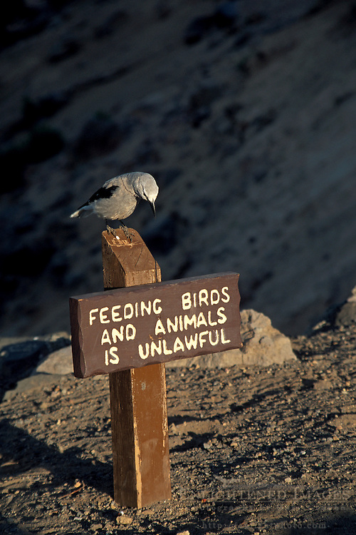 Clarks Nutcracker bird on sign  warning not to feed the aninmals, Crater Lake National Park, Oregon