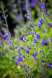Salvia greggii 'Blue Note'
