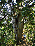 A podocarp tree grows tall in Peel Forest Park, an important remnant of a much larger forest which was cleared for agriculture on South Island, near Rangitata River, Geraldine, Canterbury, New Zealand.