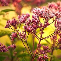 Joe-Pye Weed (Eutrochium purpureum or Eupatorium purpureum)