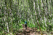 A hiker walks through dappled light in a forest along Goat Lake trail in Henry M. Jackson Wilderness (Trail #647), east of Barlow Pass, in Mount Baker-Snoqualmie National Forest, in the Central Cascades, accessed from the Mountain Loop Highway, Washington, USA.