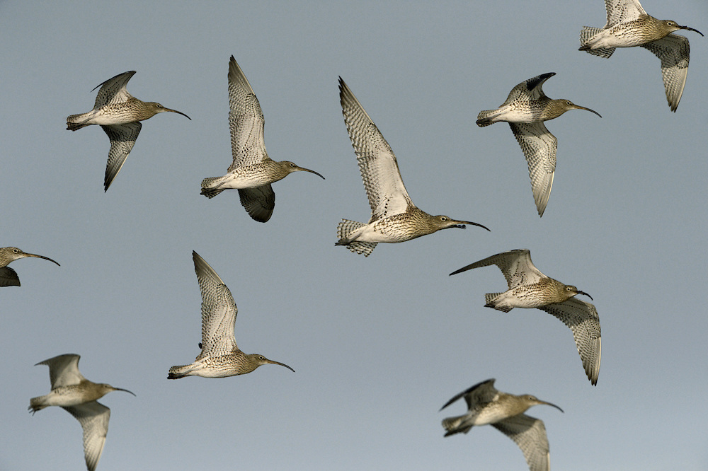 Curlew Numenius arquata - Flock in flight. L 53-58cm. Large, distinctive wader with a long, downcurved bill. Call is evocative of lonely, windswept uplands during spring and summer, and coasts in winter. Sexes are similar although male has shorter bill than female. Adult has mainly grey-brown plumage, streaked and spotted on neck and underparts; belly is rather pale. Juvenile is similar but it looks overall more buffish brown, with fine streaks on neck and breast and appreciably shorter bill. Voice Utters a characteristic curlew call and bubbling song on breeding grounds. Status Locally common breeding species on N and upland habitats. Almost exclusively coastal outside breeding season.