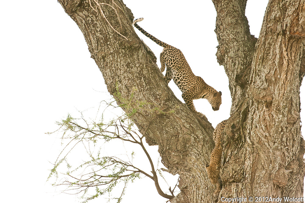 These leopard cubs haven't had much luck helping themselves to mother's lunch on a branch nearby so they decided to sneak out for some hunting of their own.<br />