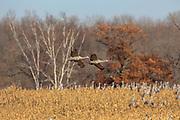 Sandhill cranes in corn stubble field.