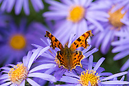A comma butterfly on Aster amellus 'King George' in the Waterperry Garden