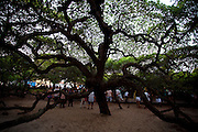 Parnamirim_RN, Brasil...Maior Cajueiro do Mundo em Parnamirim...The largest cashew tree in the world in Parnamirim...Foto: LEO DRUMOND / NITRO