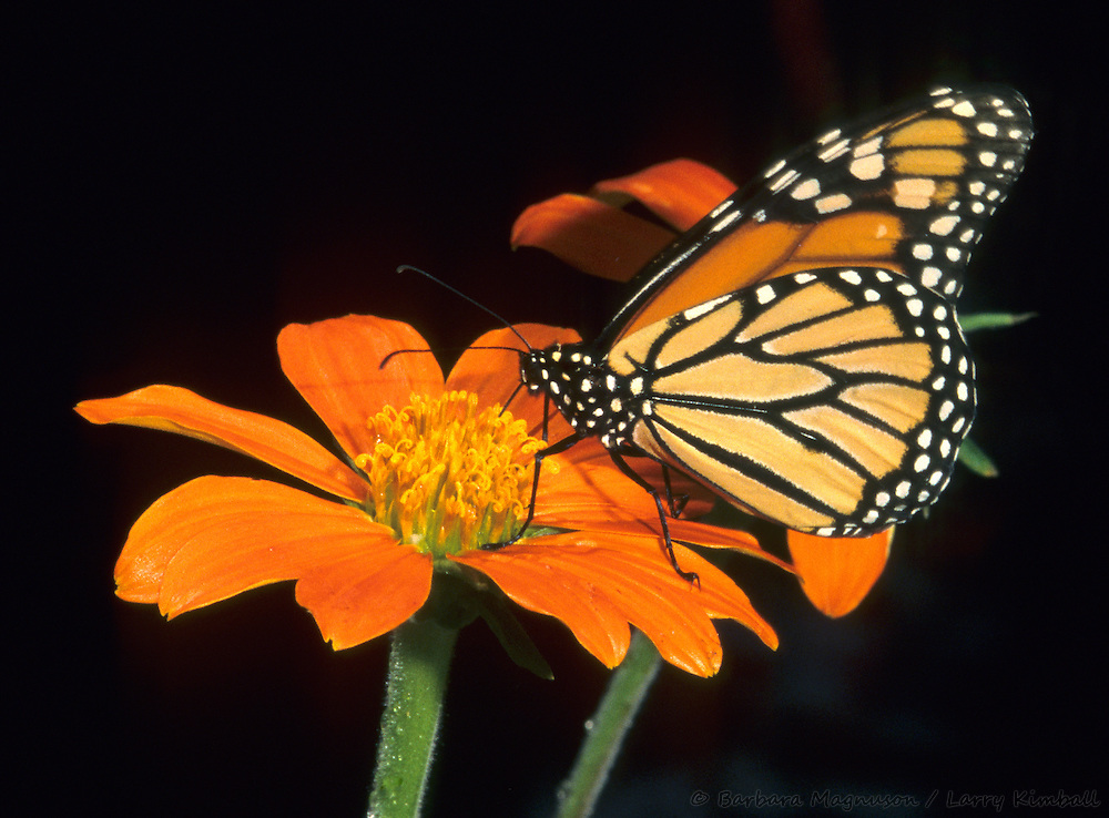 Monarch Butterfly [Danaus plexippus] feeding on flower nectar; Butterfly World, Coconut Creek, Florida