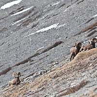 rocky mountain bighorn sheep walking across big mountains