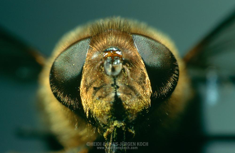 DEU, Deutschland: Porträt von einer Schwebfliege (Syrphidae), Nahaufnahme | DEU, Germany: Hoverfly (Syrphidae), insect portrait, close-up |
