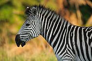 Plains zebra, Equus quagga,  Durban, South Africa