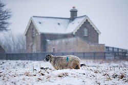 © Licensed to London News Pictures. 06/02/2018. Ingleton UK. Sheep in the snow at Gearstones this morning in the Yorkshire Dales. Photo credit: Andrew McCaren/LNP