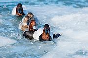 Canvasbacks & Redheads, Aythya valisineria, americana, Detroit River, Ontario, Canada
