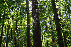 09 June 2012:   A spider web spans the twigs on the end of a tree branch along a walking trail in the woods.