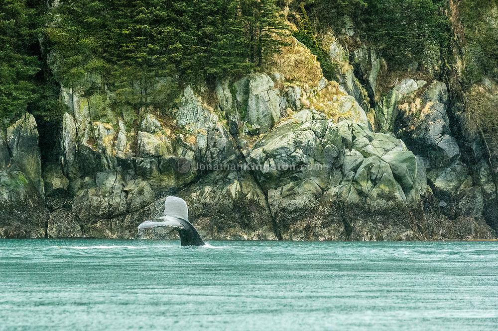 Humpback whale swimming in front of a rocky cliff face, Alaska.