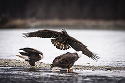A juvenile bald eagle (Haliaeetus leucocephalus) challenges two mature bald eagles for the salmon carcass they are feeding on in the Alaska Chilkat Bald Eagle Preserve along the Chilkat River near Haines, Alaska. During late fall, bald eagles congregate along the Chilkat River to feed on salmon. This gathering of bald eagles in the Alaska Chilkat Bald Eagle Preserve is believed to be one of the largest gatherings of bald eagles in the world.