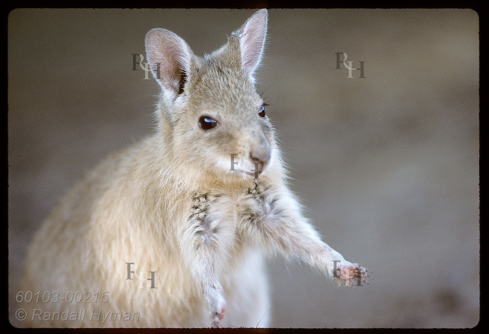 Close view of endangered rufous hare-wallaby (mala) with arms held out, ready for fleeing. Australia