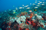 A coral reef in Southeastern Florida, covered in a variety of invertebrate species, including corals and sponges, is home to hundreds of varieites of tropical fish.