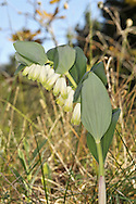 ANGULAR SOLOMON'S SEAL Polygonatum odoratum (Liliaceae) Height to 50cm. Creeping perennial with angled, arching stems. Grows on rocky ground, mainly on limestone, sometimes in limestone pavements. FLOWERS are bell-shaped, not waisted, and white; in clusters of 1-2, arising from leaf axils (May-Jun). FRUITS are blackish berries. LEAVES are ovate and alternate. STATUS-Local, mainly in N and NW England.