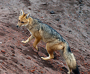 "The Culpeo (Lycalopex culpaeus), sometimes known as the Andean Wolf (Spanish: Lobo), or (Common) Andean Fox, or Patagonian Fox, is a South American species of wild dog, seen here at the mountain refuge ""José Ribas"" on the north face of the Cotopaxi Volcano at 4800 meters (15,750 feet) of altitude in Ecuador. The Culpeo is the second largest native canid in South America after the Maned Wolf. In its appearance it bears many similarities to the widely recognized red fox. It has grey and reddish fur, a white chin, reddish legs, and a stripe on its back that may be barely visible.  Its distribution extends from Ecuador and Peru to the southern regions of Patagonia and Tierra del Fuego. It is most common on the western slopes of the Andes, where it inhabits open country and deciduous forests. The Culpeo's diet consists largely of rodents, rabbits, birds and lizards, and to a lesser extent, plant material and carrion. The Culpeo does attack sheep on occasion, and is therefore often hunted or poisoned. In some regions it has become rare, but overall the species is not threatened with extinction. Cotopaxi National Park (Spanish: Parque Nacional Cotopaxi) is a protected area in Ecuador in the Cotopaxi Province, Napo Province and Pichincha Province. Cotopaxi is a stratovolcano in the Andes Mountains, located about 75 kilometers (50 miles) south of Quito, Ecuador, South America. It is the second highest summit in Ecuador, reaching a height of 5,897 m (19,347 ft)."