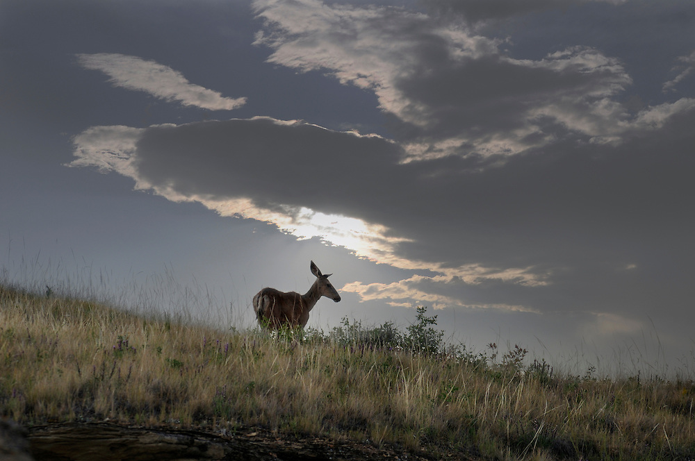Deer at Dinosaur Provincial Park, Alberta, Canada.