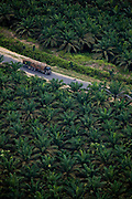 A log truck drives through palm oil plantations, near Perawang, Indonesia,  Aug. 28, 2008..Daniel Beltra/Greenpeace