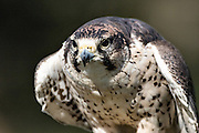 Portrait of a Lanner Falcon at the Center for Birds of Prey November 15, 2015 in Awendaw, SC.