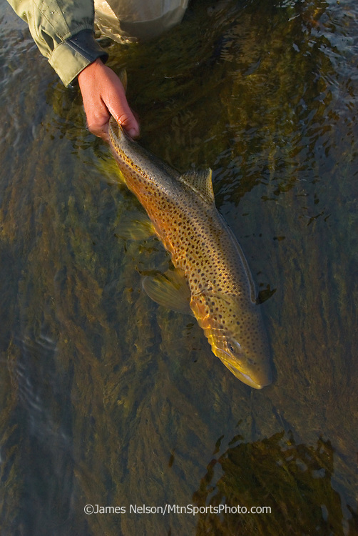 An angler releases a brown trout caught on the South Fork of the Snake River in Idaho.