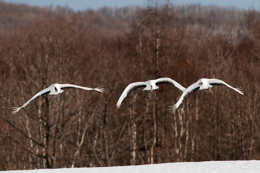 JAPAN, Eastern Hokkaido.Red-crowned cranes (Grus japonensis) in flight.(IUCN 2010: Endangered)