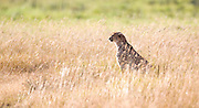 Cheetah in long grass, Ngorongoro Crater, Tanzania